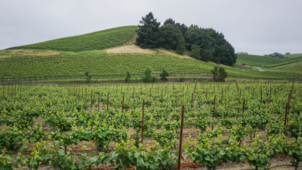 California Wine Field